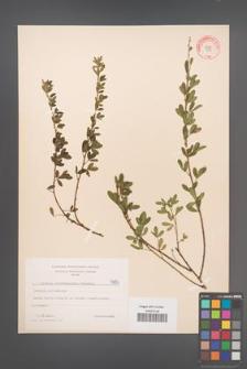 Cytisus ratisbonensis [KOR 4694]