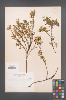 Cytisus ratisbonensis [KOR 5240]