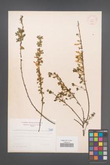 Cytisus ratisbonensis [KOR 5225]