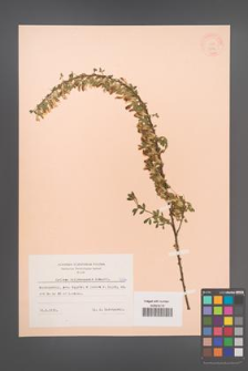 Cytisus ratisbonensis [KOR 7314]