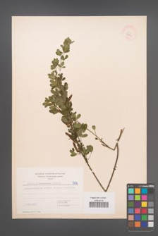 Cytisus ratisbonensis [KOR 5474]