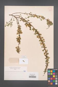 Cytisus ratisbonensis [KOR 5201]