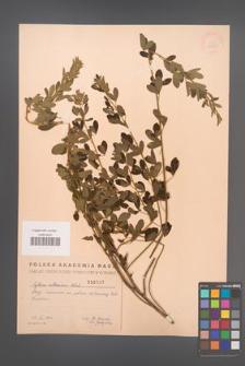 Cytisus ruthenicus [KOR 2525]