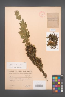 Cytisus ruthenicus [KOR 2585]