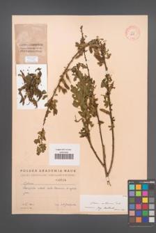 Cytisus ruthenicus [KOR 2584]
