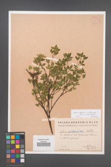 Chamaecytisus ruthenicus [KOR 1653]