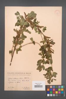 Cytisus ruthenicus [KOR 2523]