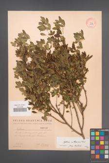 Cytisus ruthenicus [KOR 2582]