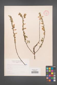 Cytisus ratisbonensis [KOR 5134]
