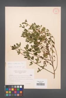 Cytisus ruthenicus [KOR 5395]