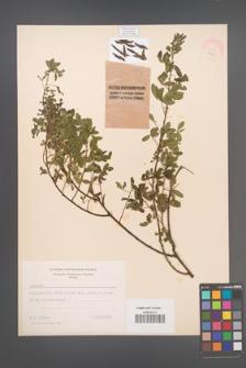 Cytisus ruthenicus [KOR 1919]