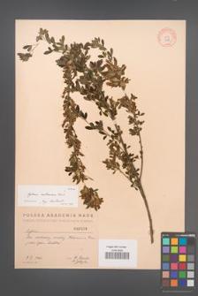 Cytisus ruthenicus [KOR 2568]