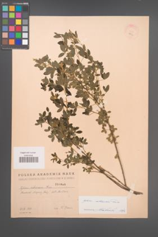 Cytisus ruthenicus [KOR 1846]