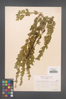 Cytisus ruthenicus [KOR 4745]