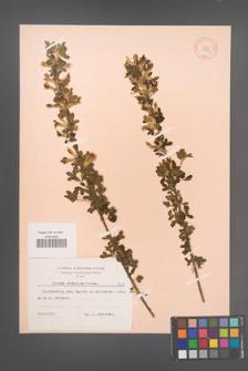 Cytisus ruthenicus [KOR 7313]