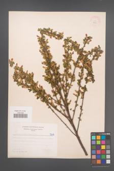 Cytisus ruthenicus [KOR 5210]