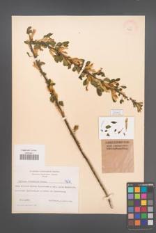 Cytisus ruthenicus [KOR 4270]