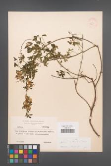 Cytisus ruthenicus [KOR 3839]