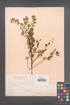 Cytisus ruthenicus [KOR 3212]