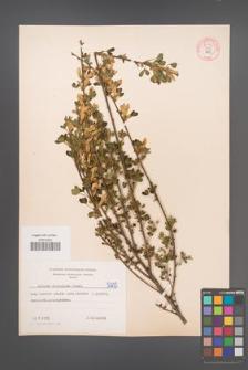 Cytisus ruthenicus [KOR 54706]