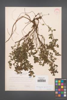 Chamaecytisus supinus [KOR 5475]