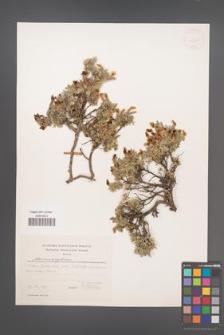 Chamaecytisus [KOR 54717]