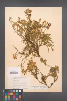 Chamaecytisus wulfii [KOR 12681]