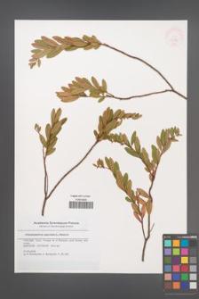 Chamaedaphne calyculata [KOR 46385]