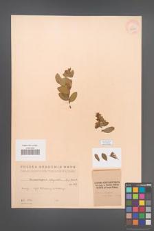 Chamaedaphne calyculata [KOR 34038]