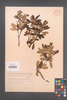 Chimaphila umbellata [KOR 1967]