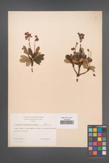 Chimaphila umbellata [KOR 3457]