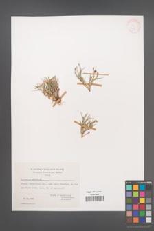 Cichorium spinosum [KOR 27581]