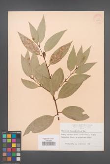 Cinnamomum burmanii [KOR 28322]