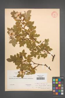 Rosa canina [KOR 9482]