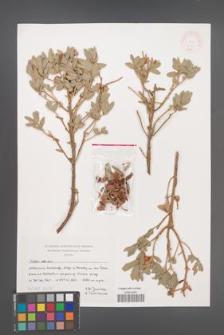 Cistus albidus [KOR 46877]