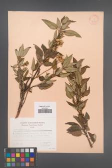Cistus laurifolius [KOR 30110]