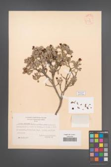 Cistus parviflorus [KOR 12786]