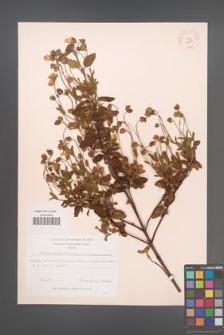 Cistus salviifolius [KOR 12759]