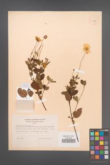 Cistus salviifolius [KOR 12752]