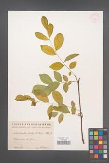 Cladrastis lutea [KOR 1012]