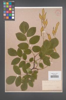 Cladrastis lutea [KOR 34009]