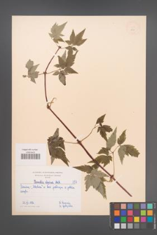 Clematis alpina [KOR 157]