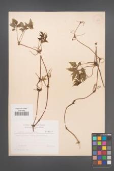 Clematis alpina [KOR 3687]