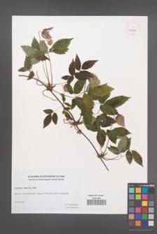 Clematis alpina [KOR 46242]
