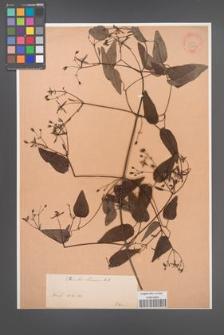 Clematis chinensis [KOR 34014]