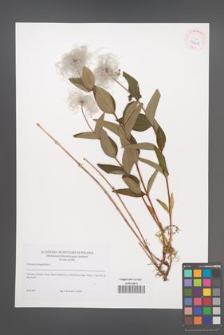 Clematis integrifolia [KOR 42215]