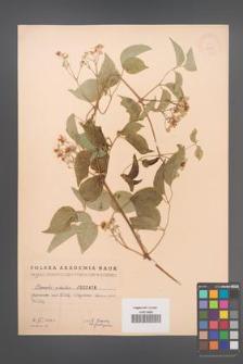 Clematis vitalba [KOR 2478]