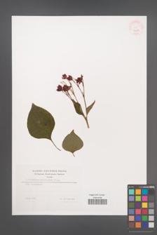 Clerodendrum trichotomum [KOR 32204]