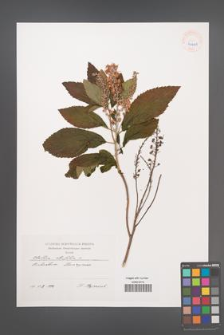 Clethra alnifolia [KOR 40401]