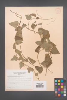 Cocculus trilobus [KOR 28341]